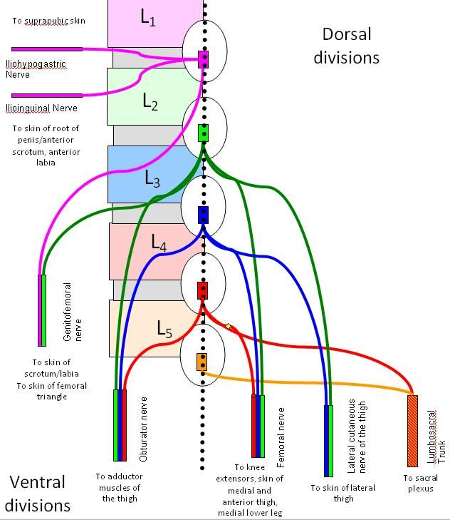 lumbosacral plexus. a grouping of nerves which stem from the, Muscles