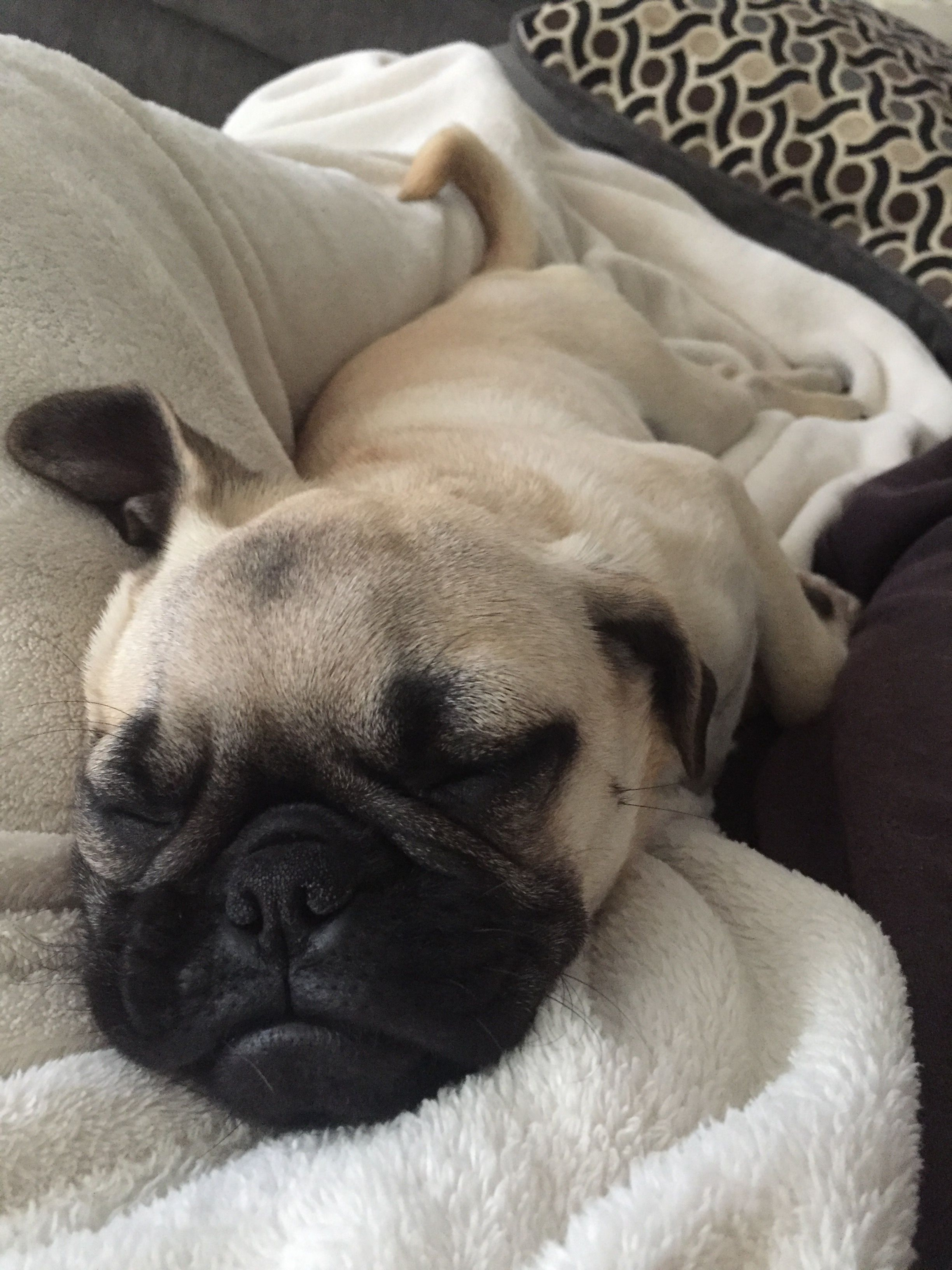 4 Month Old Pug Snoozing Cute Pugs Old Pug Pugs