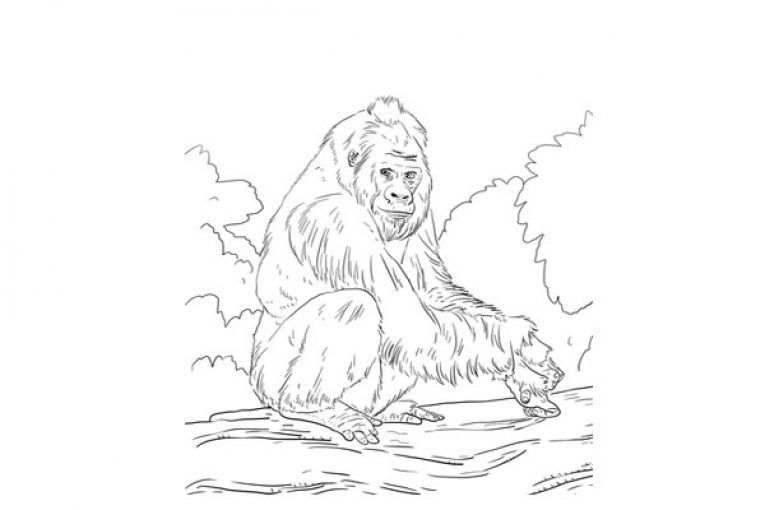 Western Lowland Gorilla Coloring Page The Is One Of Two Subspecies