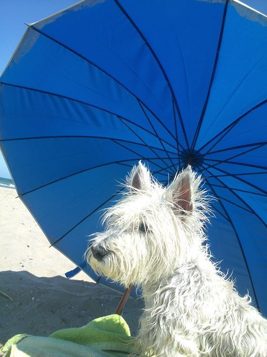 Good Boy Avoiding The Sun Via Www Spoiltdoggie Co Uk Westie Terrier Cutest Dog Ever West Highland White Terrier