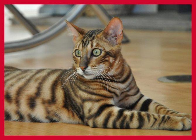 15 Most Popular Cat Breeds Toyger cat, Cat breeds, Cats