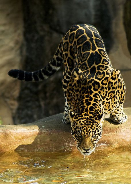 Vurtual: U201cJaguar Little Rock Zoo (by JP Diroll) U201d