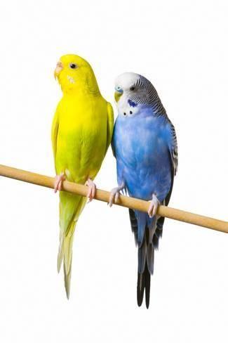 Parakeets Photographic Print Art Com Parakeet Original Mixed Media Art Budgerigar