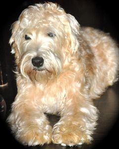 Rochester Wheatens Soft Coated Wheaten Terrier Breeder Tyler Texas Soft Coated Wheaten Terrier Irish Terrier Wheaten Terrier