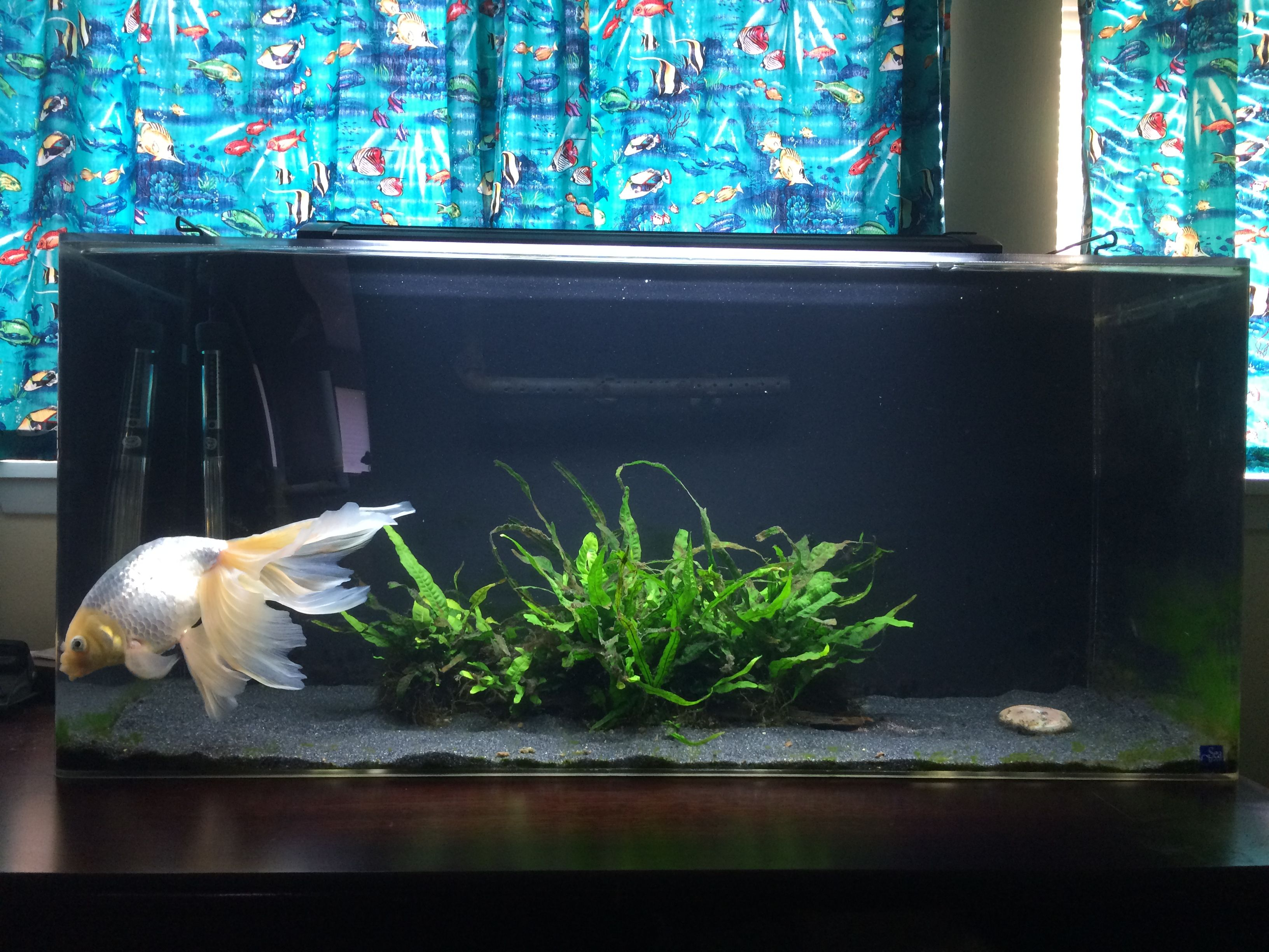 beautiful egg phoenix (shukin) goldfish w/java fern. | fancy