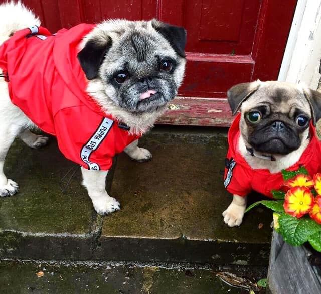 Puppia Red Windbreaker Coat Available At Www Ilovepugs Co Uk Post