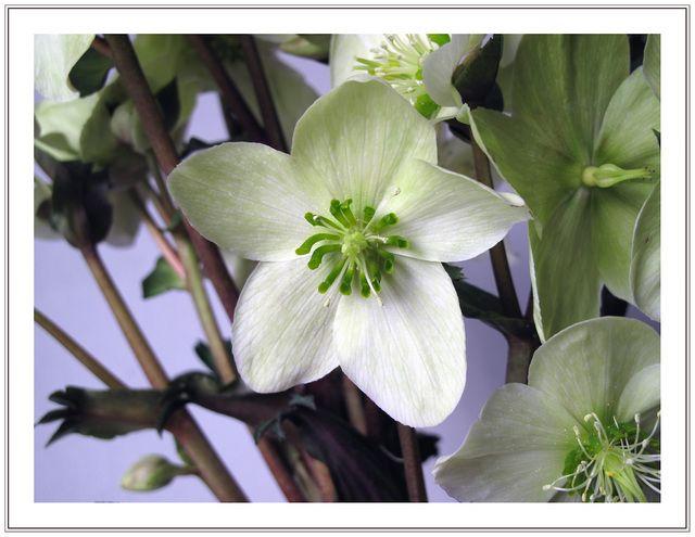 Photo : Hellébore 3,  Fleurs et plantes, Fleurs, Macro, Belgique, Mons, Hellébores. Toutes les photos de Jacques Bury sur L'Internaute