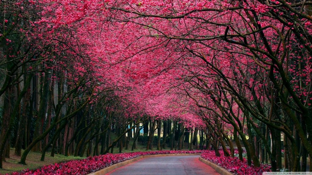 Blooming Trees Hd Wallpaper Wallpele Com Tree Photography Beautiful Tree Pink Trees