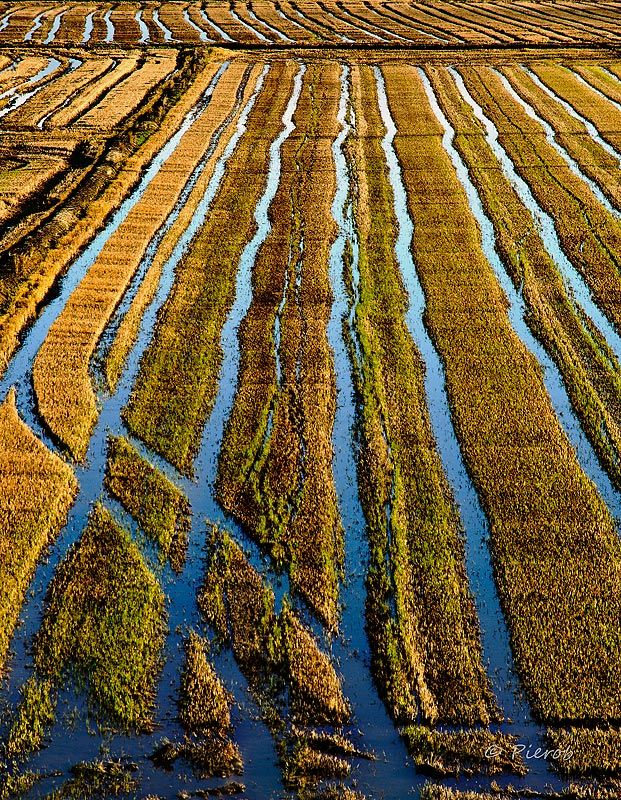 Risaie in Piemonte Italy Yes, there are rice farms in Italy  Look it