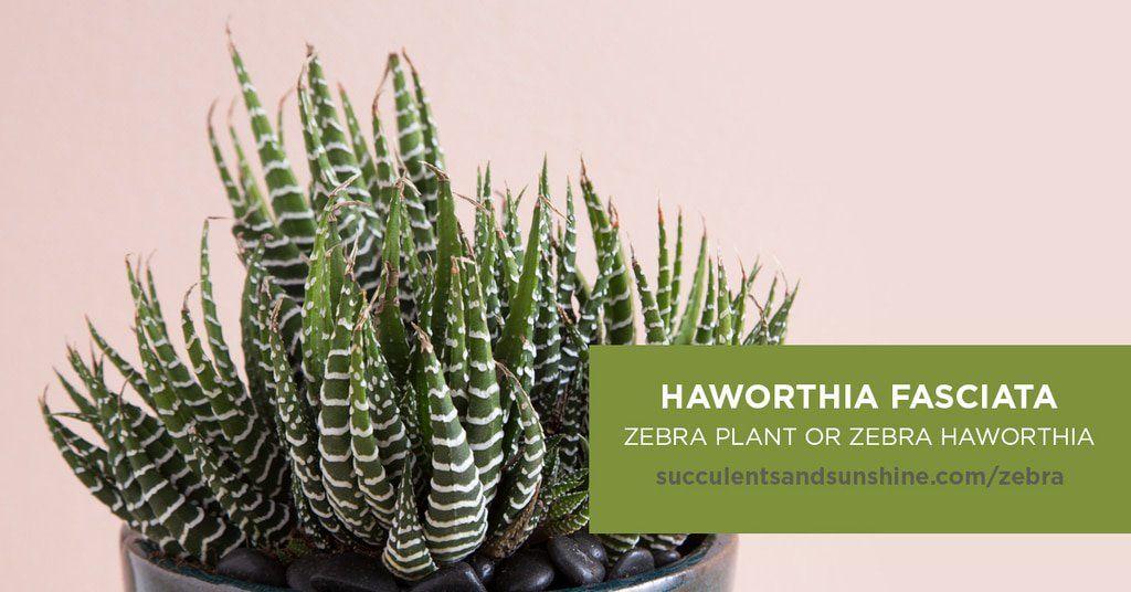 Zebra Plant Haworthia Fasciata Zebra Plant Plants Types Of