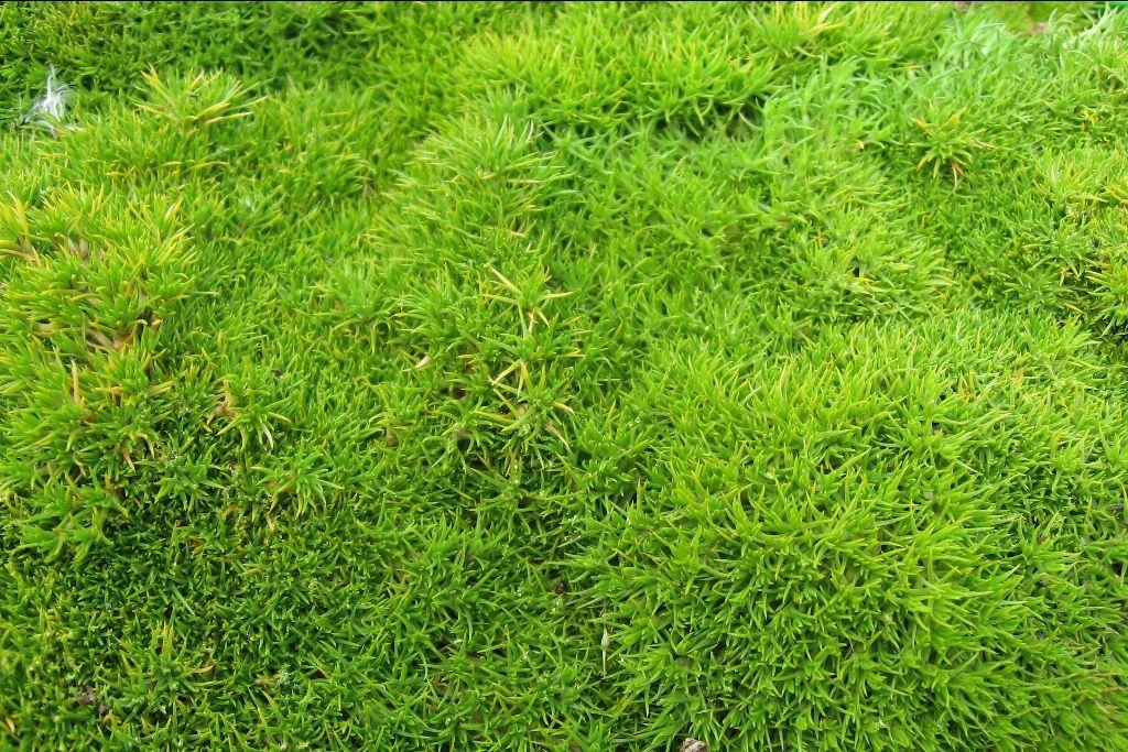 Superbe tapis de scl ranthe vert toute l 39 ann e photo de for Toutes les plantes