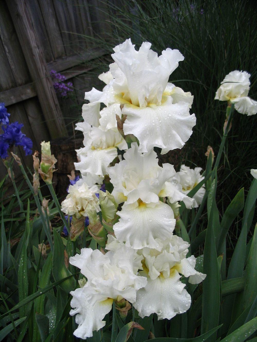 Photo of tall bearded iris iris uroyal birthu uploaded by