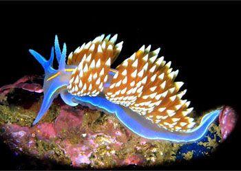 Opalescent Nudibranch Commonly Found In Areas Of The West Coast Of North America From Kodiak Island Alaska To Baja California Kodiak Island Slugs Sea Slug