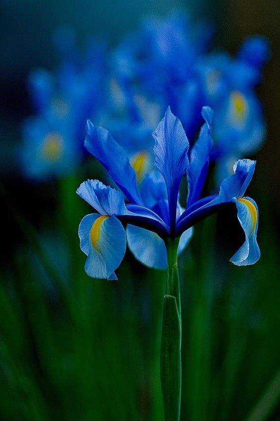 Blue Iris I Don T Know Who The Photographer Is But The Detail That Is Shown On The Flower Photograph Popular Flowers Iris Flowers Most Popular Flowers