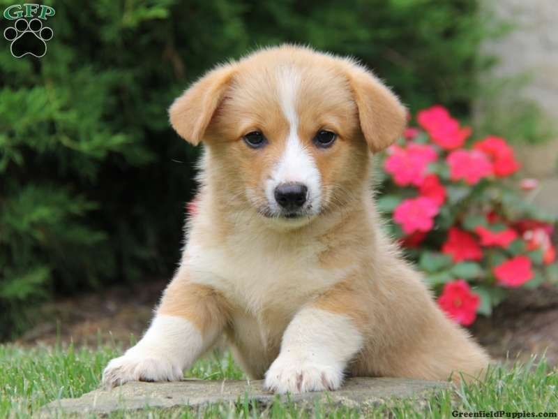 Doogle, Welsh Puppy for Sale in Honey Brook, Pa