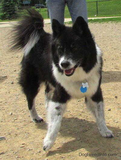 Akita Chow Akita And Chow Chow Mix Chow Dog Breed Hybrid Dogs