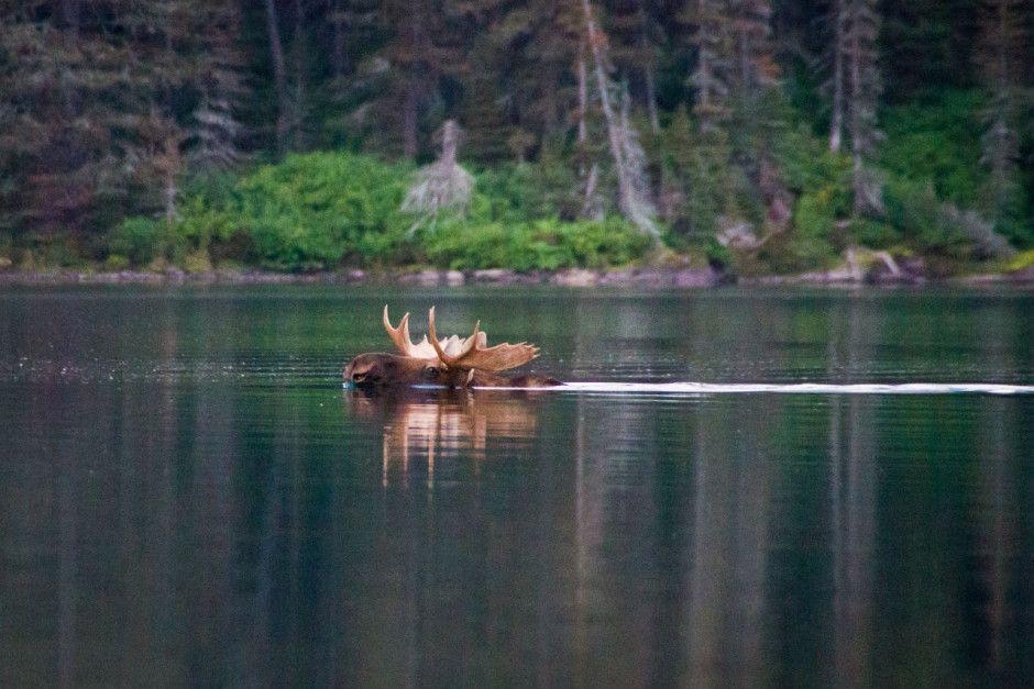 25 stunning images of Glacier National Park Moose