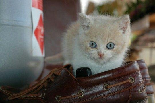 Kitten explores shoes