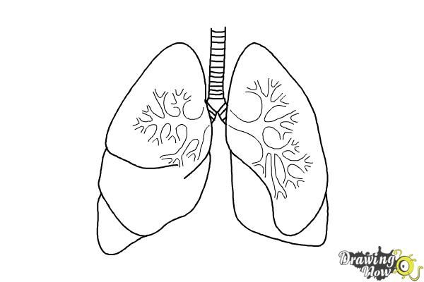 lungs sketch lungs drawing ld01 healthsanaz drawings art drawings 612