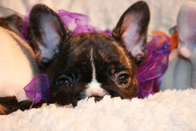 French Bulldog Puppy For Sale Toronto Ontario Area French