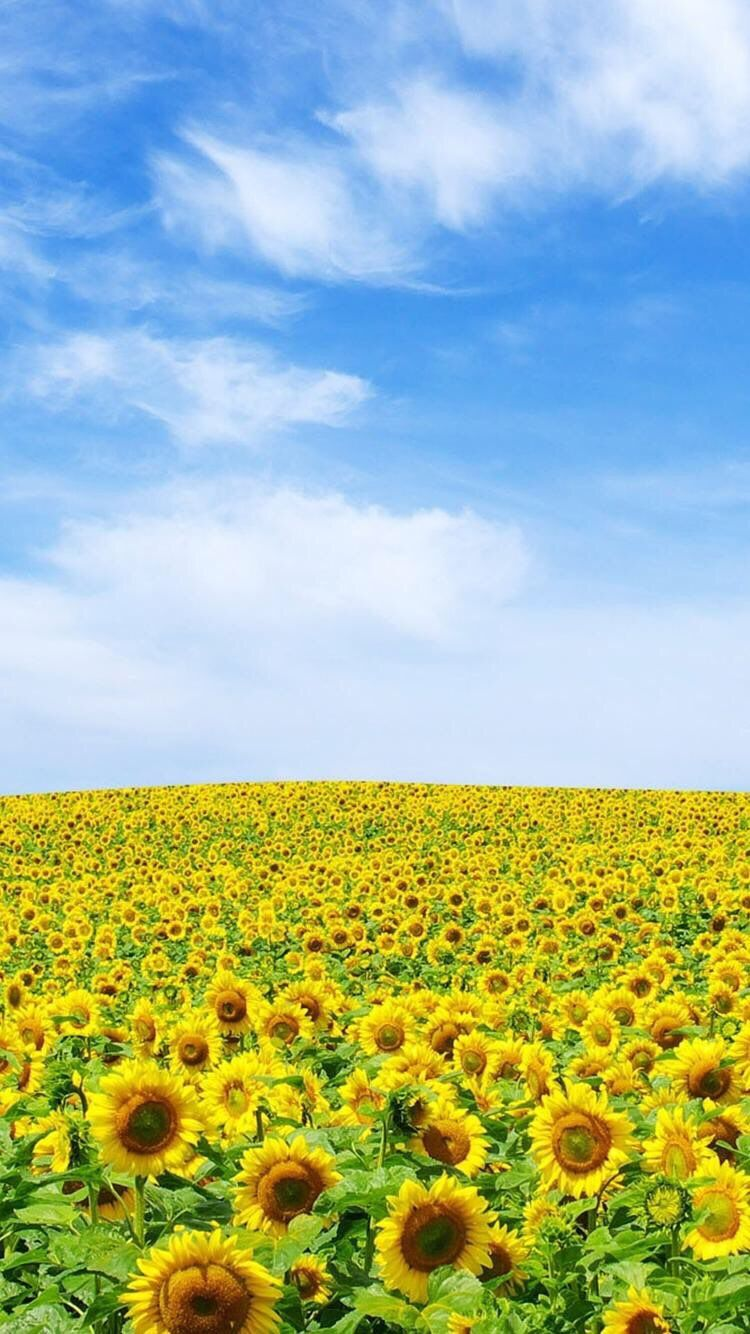 iPhone and Android Wallpapers Sunflower Field Wallpaper