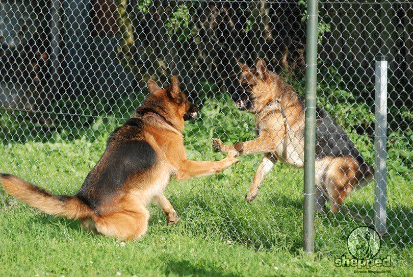 If Your German Shepherd Is Displaying Aggressive Behavior You