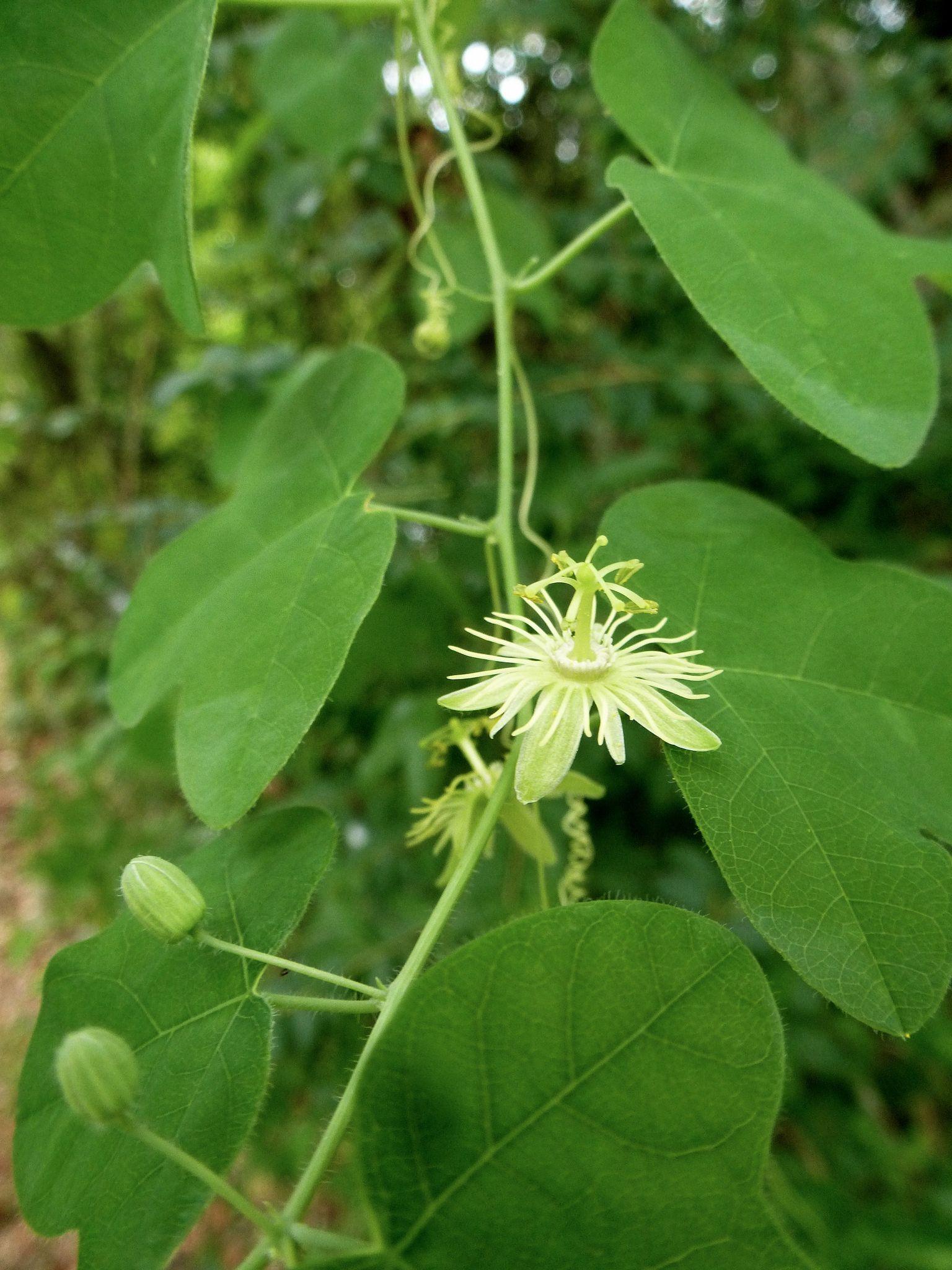 Yellow Passionflower Passiflora Lutea Wildflowers Pinterest