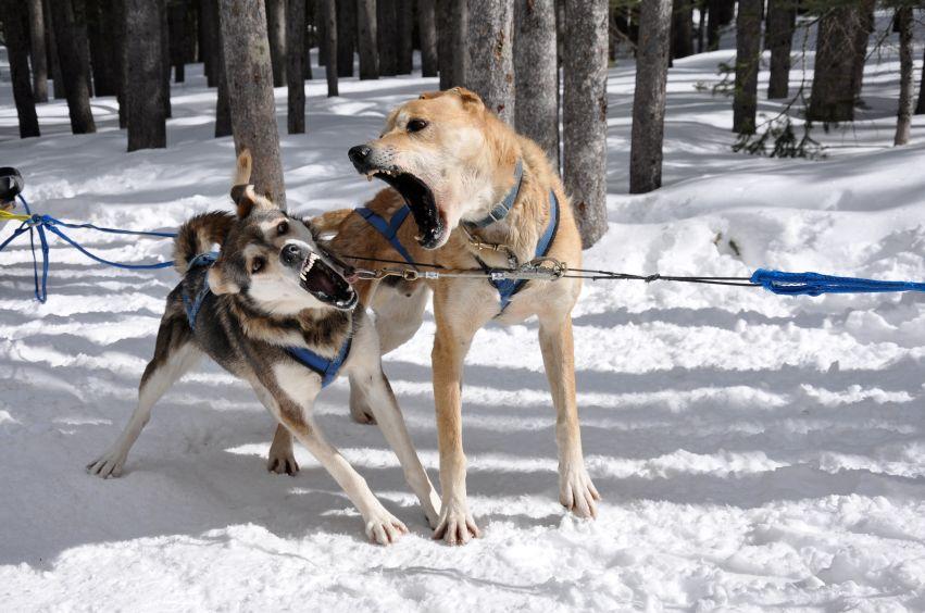 Dogs Start To Fight Dog Sledding Dog Training Dogs