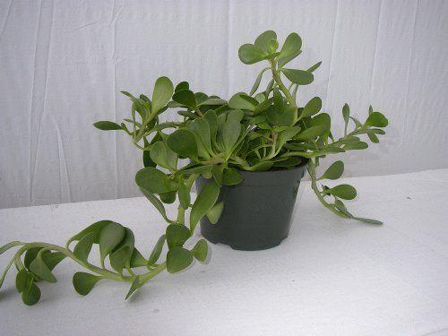 beauteous house plants names. Succulent Senecio Trailing Jade  PlantsIndoor Garden Florals Pinterest