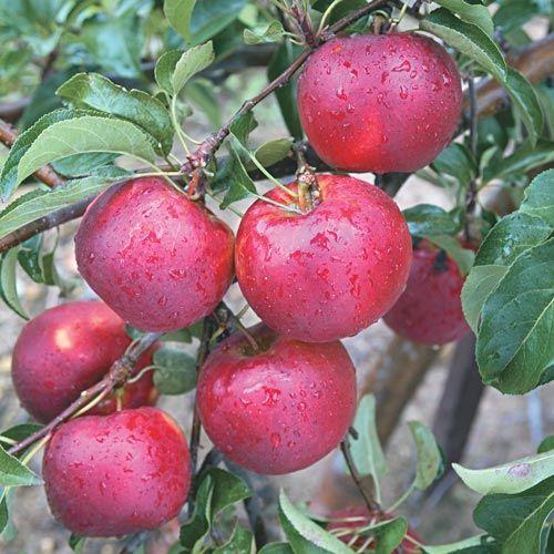 Pixie Crunch Apple Tree Gurney S Seed Nursery Co Fruit Trees Apple Tree Apple