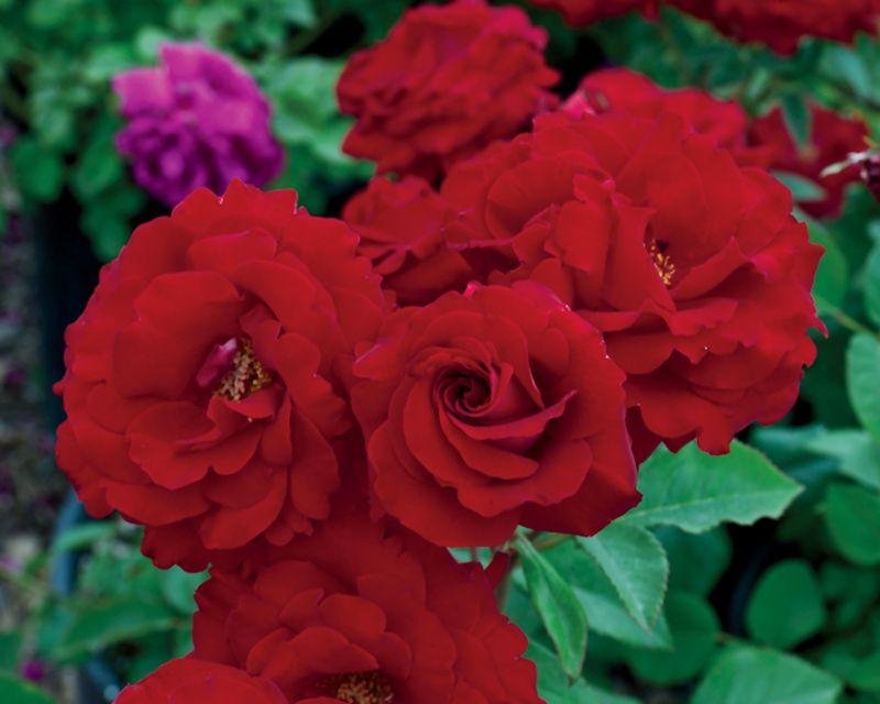 Easiest Roses To Grow Foolproof Rose Growing Guide Growing Roses Rose Varieties Floribunda Roses