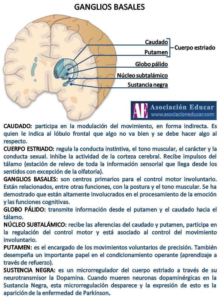Infografía Neurociencias: Ganglios basales. Material de uso libre ...