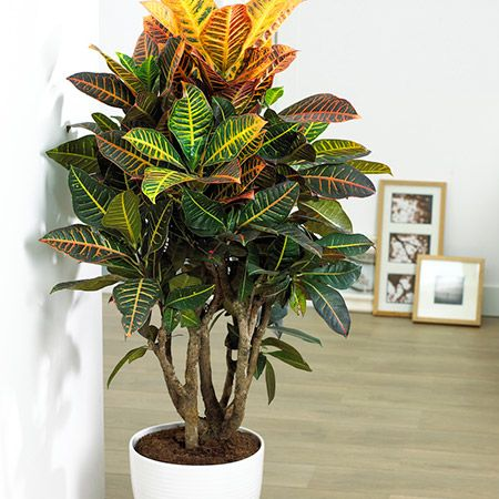 Croton Petra Plant House Plants Decor Plant Decor 400 x 300