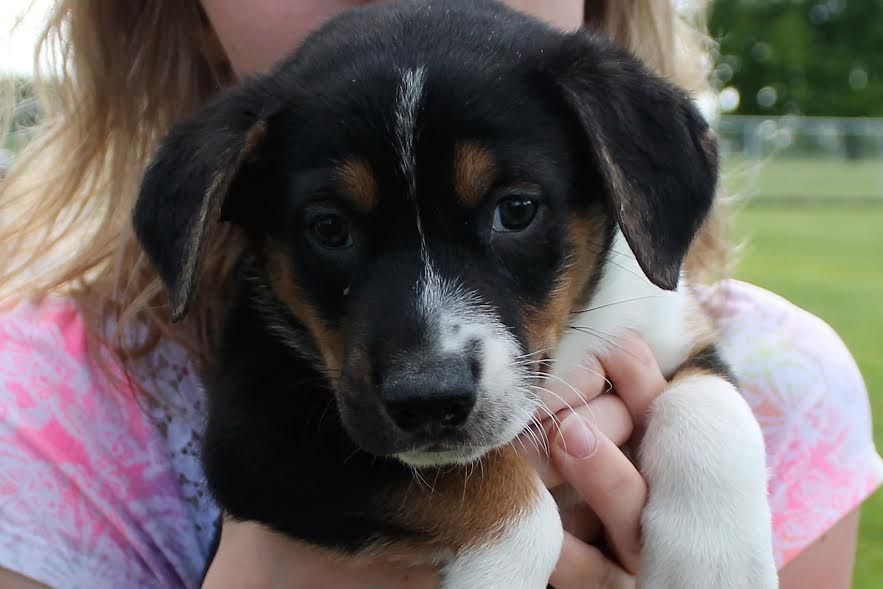 Boxador dog for Adoption in Northville, MI. ADN562271 on