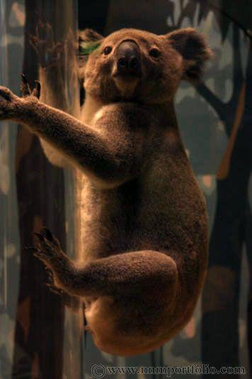 Image Koala Smithsonian Museum Of Natural History