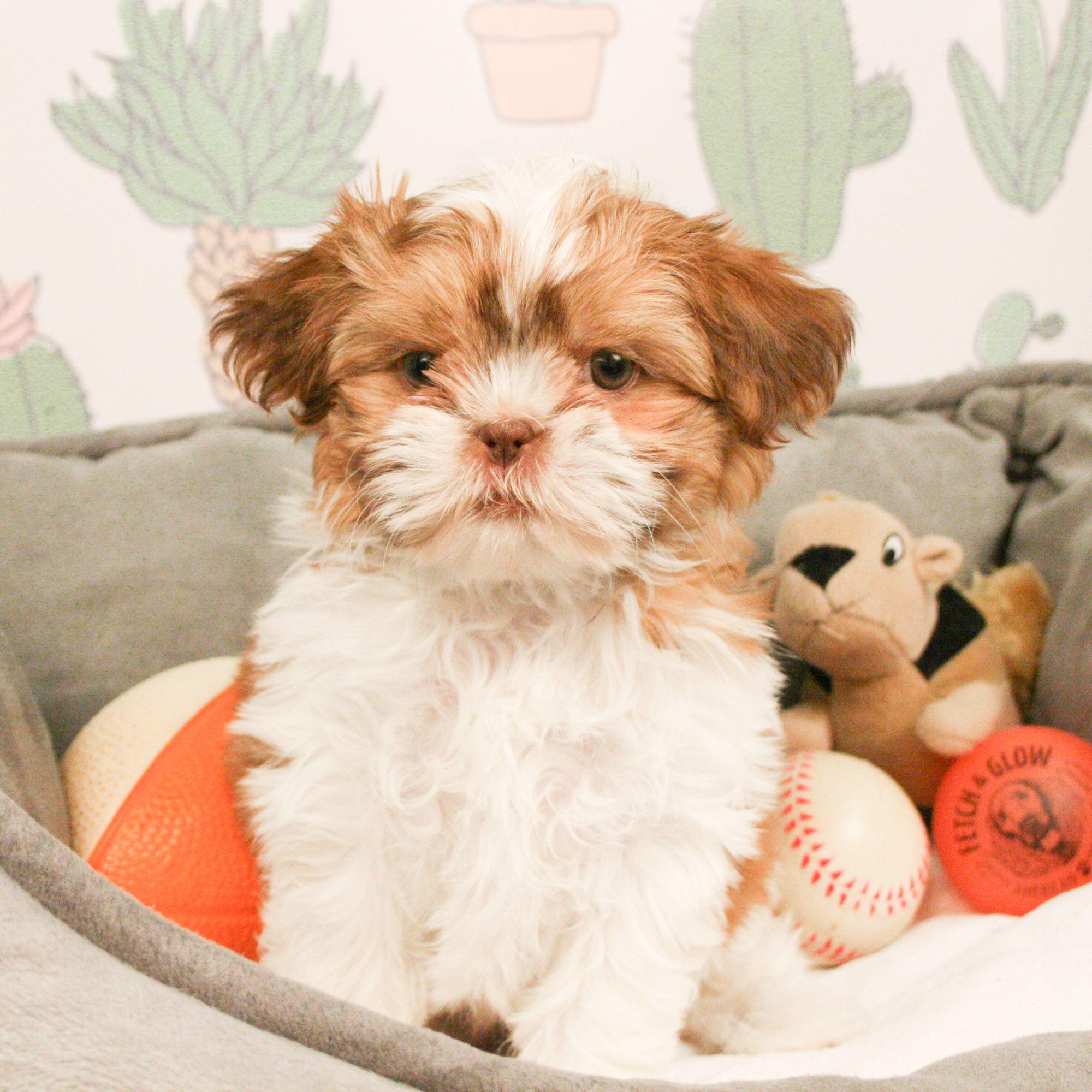 Shih Tzu Puppies For Sale Shih Tzu Puppy Puppies Lap Dogs