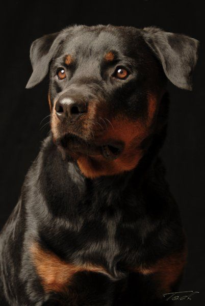 Oso Rottweiler Photograph By Ted Prescott On The Spot Studios