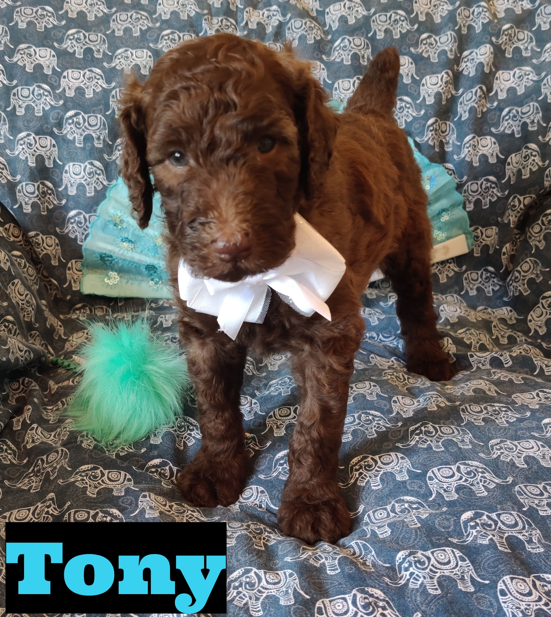 Tony, AKC Standard Poodle, Florida Puppies, Puppy finder