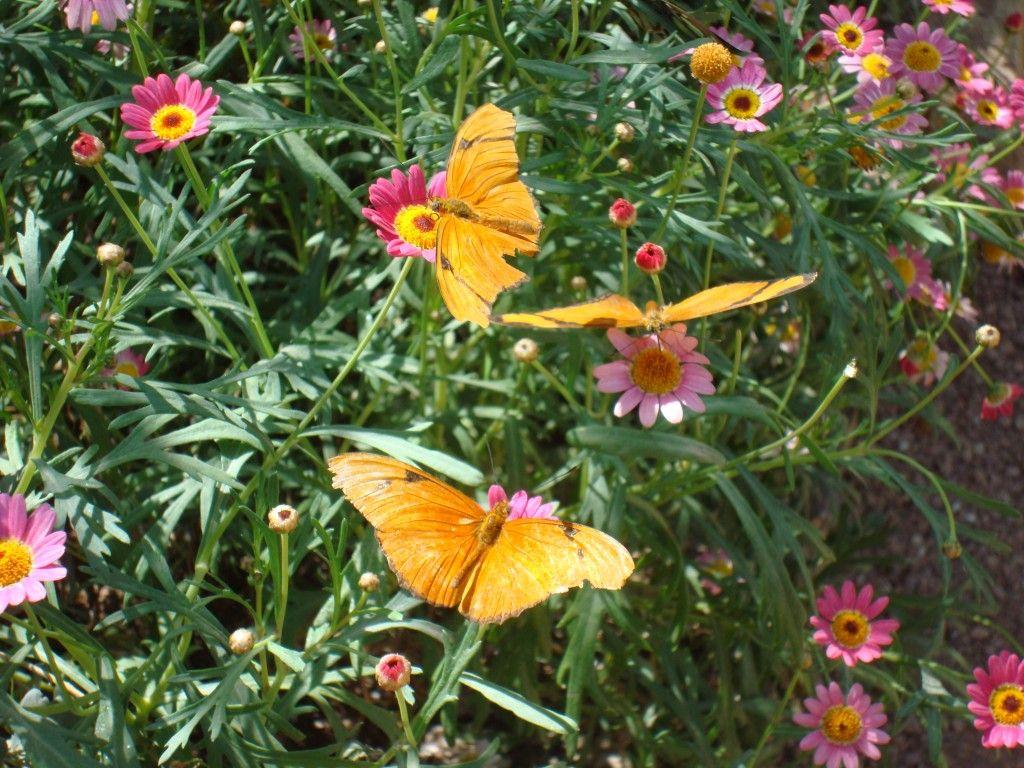 Gentil Butterfly Garden   Butterfly Garden At Desert Botanical Garden   Phoenix