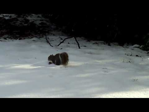 Squirrel Playing In The Snow Barrie Crampton's You Tube Channel http://www.youtube.com/user/barriecrampton?feature=mhee