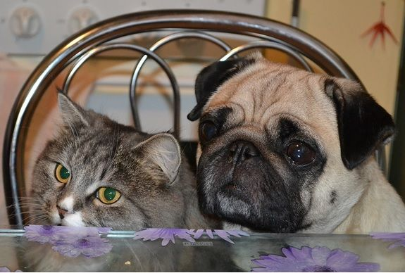 """""""This is my treat kitty!"""" #dogs #pets #Pugs #cats Facebook.com/sodoggonefunny"""