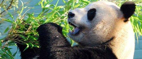 Top Attractions In Edinburgh This Is Edinburgh Edinburgh Zoo Edinburgh Panda Bear