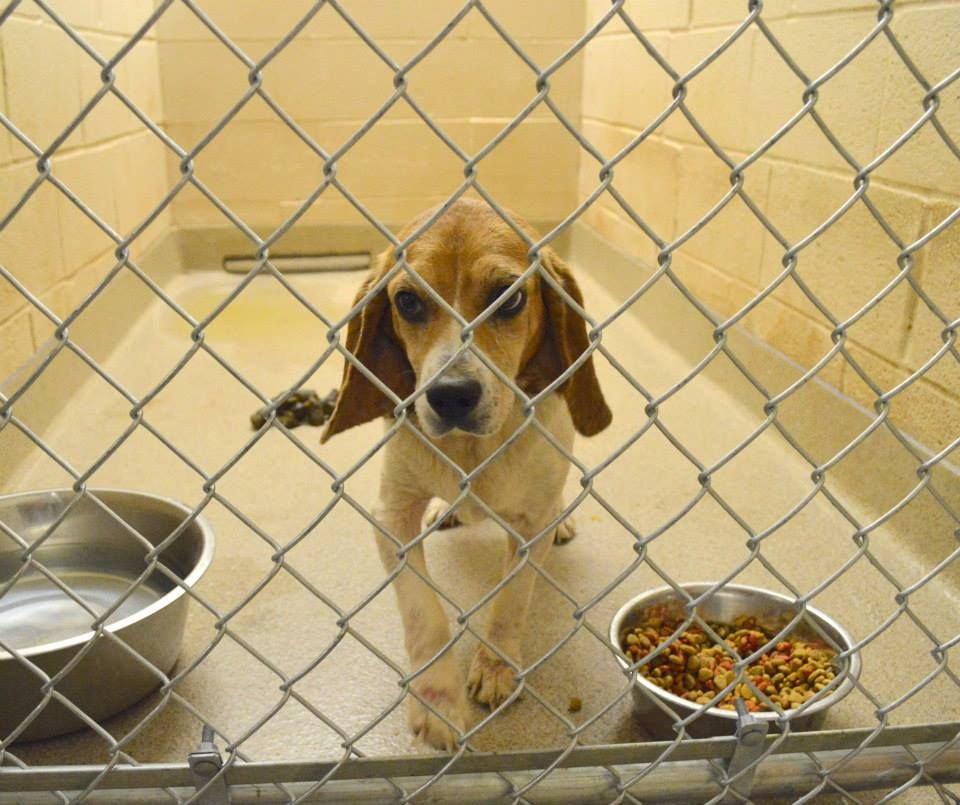 Lost And Found Beagles Beagle Animal Control Lost Found