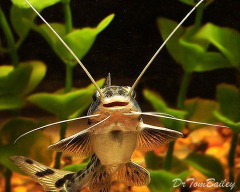 Aquarium Catfish For Sale Aquarium Catfish Freshwater Catfish Tropical Fish Aquarium
