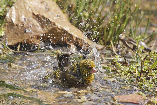 Greenfinch (Carduelis Chloris) – Photograph by Marco Jona