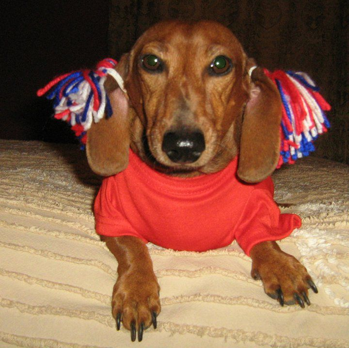 I Wish My Weiner Dog Could Be In The Cheer Spirit But This Is Cute Weiner Dog Weiner Dog Costume Dachshund Love