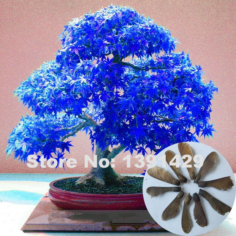 100 Real 20 unids púrpura azul del fantasma japonesas semillas arce