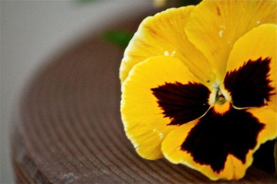 Yellow Pansy 8x10 Photograph