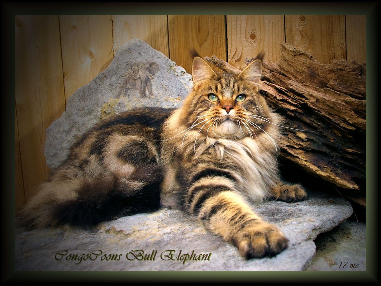 striking photograph of maine coon cat in brown tabby color ...