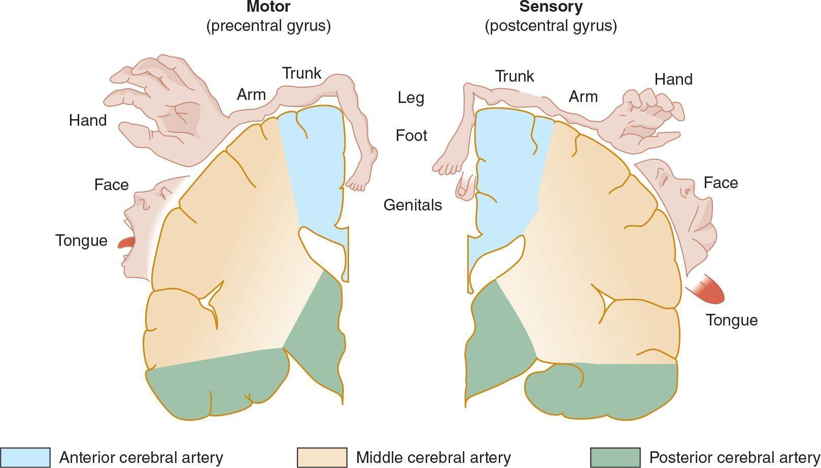 Image Result For Anterior Cerebral Artery Stroke Symptoms